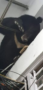 Sikkim: Bear rescued in Gangtok 1