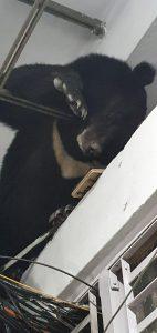 Sikkim: Bear rescued in Gangtok 3