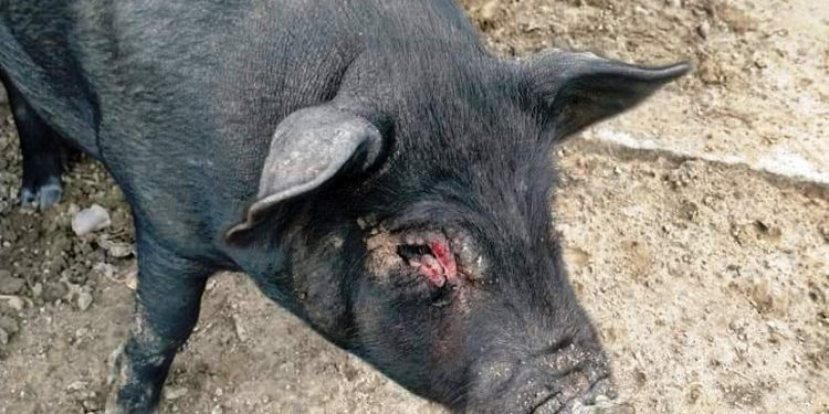A swine fever infected pig in Lakhimpur. Image: Northeast Now