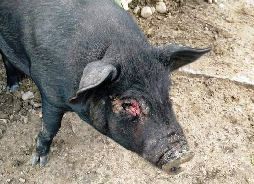 Carcasses of pigs float in Ranganadi as swine fever wrecks havoc in Lakhimpur 3
