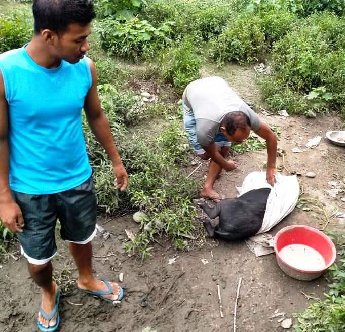 Carcasses of pigs float in Ranganadi as swine fever wrecks havoc in Lakhimpur 6