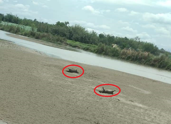 Carcasses of pigs float in Ranganadi as swine fever wrecks havoc in Lakhimpur 5