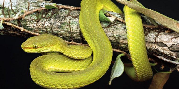 The pit viper was discovered by the team of researchers in the thick evergreen forests of Pakke tiger reserve.