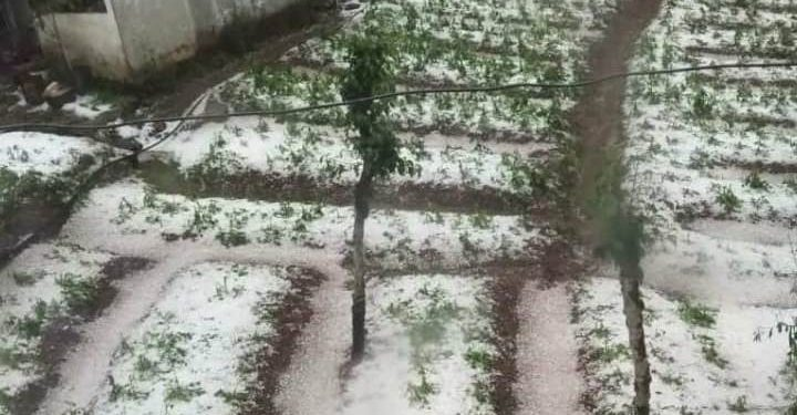 Crops have been badly damaged by hailstones.