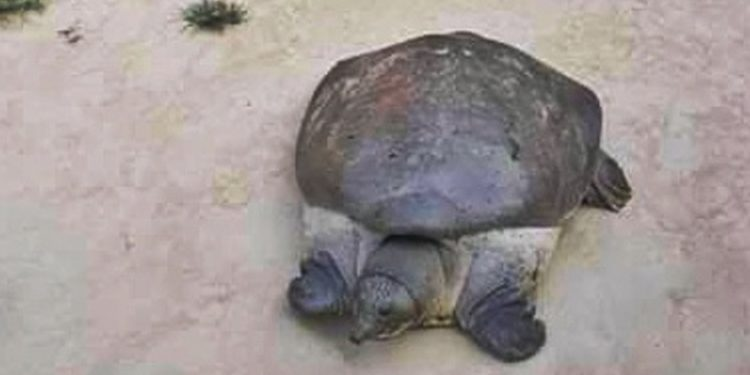 The rescued tortoise. Image: Northeast Now
