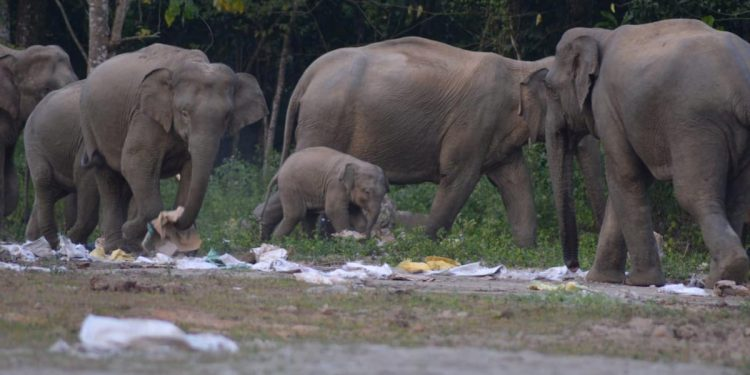 elephants in Dehing Patkai