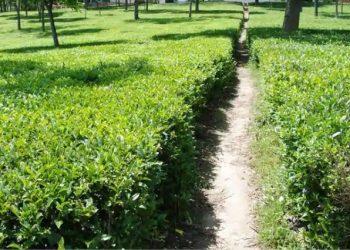 Tea workers' body demands a tea department in Assam 3