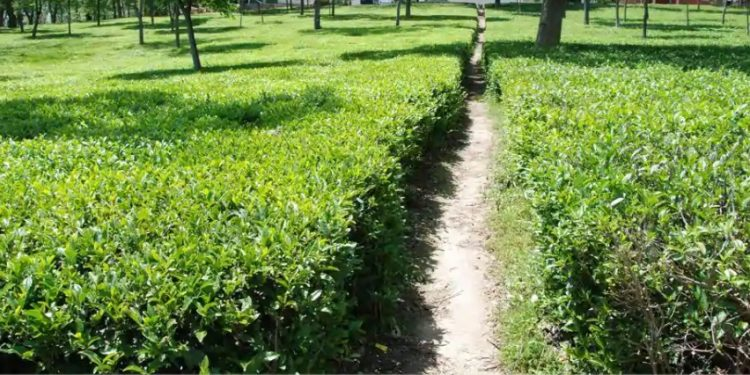 Arunachal mulls suitable policy for small tea growers 1