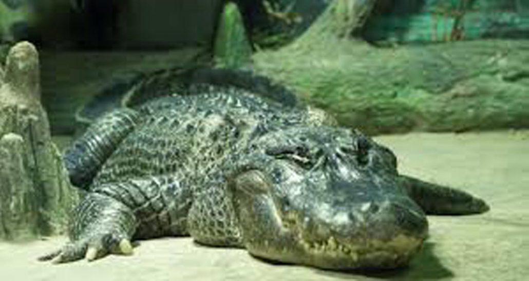Hitler's pet alligator Saturn dies aged 84