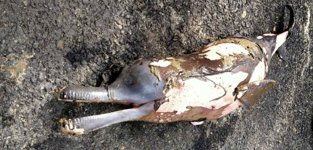 Assam: Carcass of river dolphin found afloat in Dibru river 3