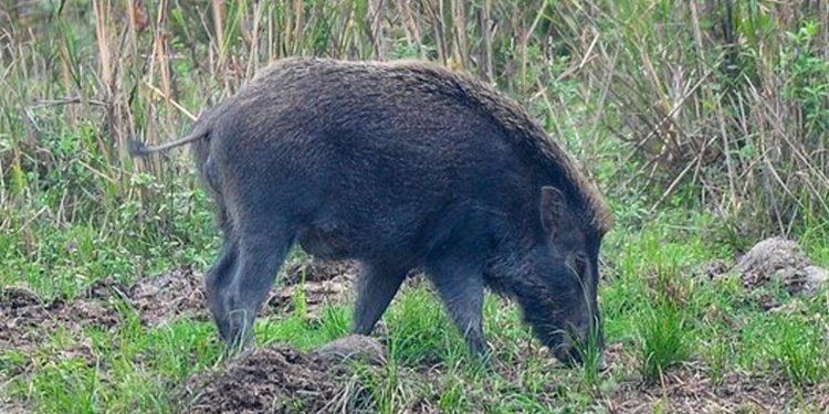 A wild boar inside Kaziranga National Park. Image credit: Trip Advisor