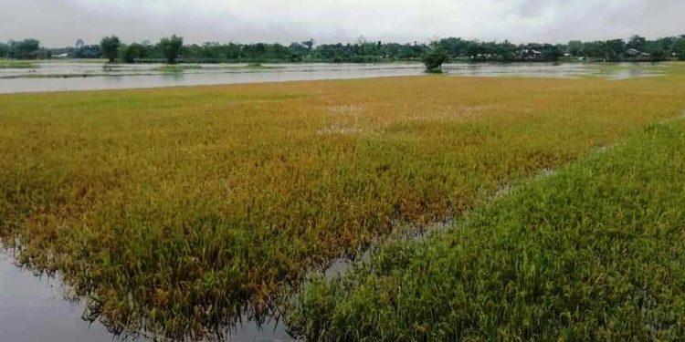 Flood water inundates paddy fields in Nowboicha, Lakhimpur