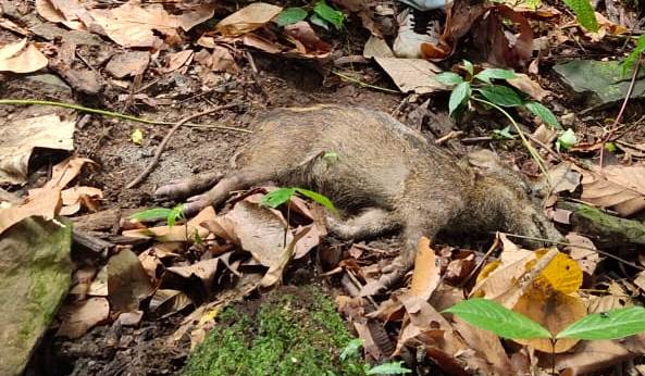 Swine Fever: Experts examine carcasses of wild boars in Pasighat 1