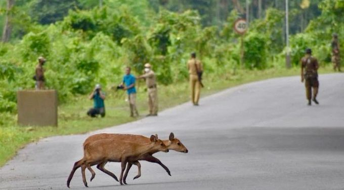 In order to escape the flooded Kaziranga, animals are trying to cross the busy highway and reach the nearby Karbi hills.