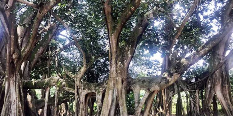 208-year-old banyan tree in Barpeta district of Assam