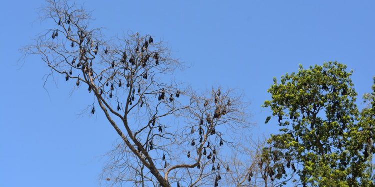Colonies of Bats in a tree at the Paneri police station. Image: Northeast Now