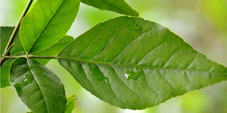 Benefits of Bell leaves 1