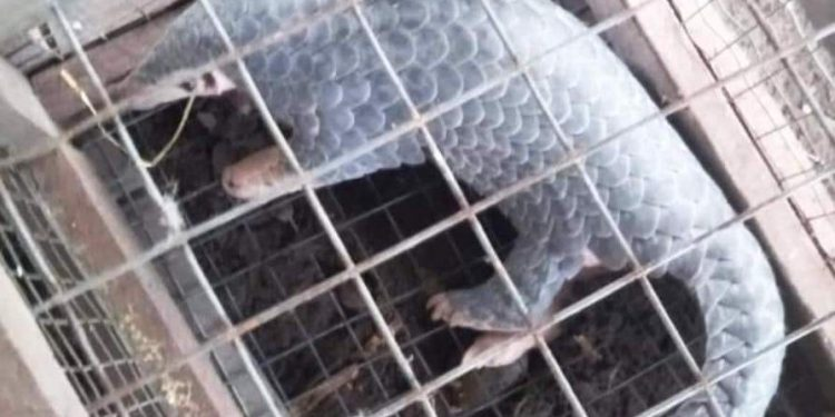 The exotic mammal, which entered the human settlements at Ming Mang near Gogamukh was caught by villagers.