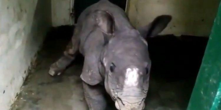 Rhino rescued in Kaziranga