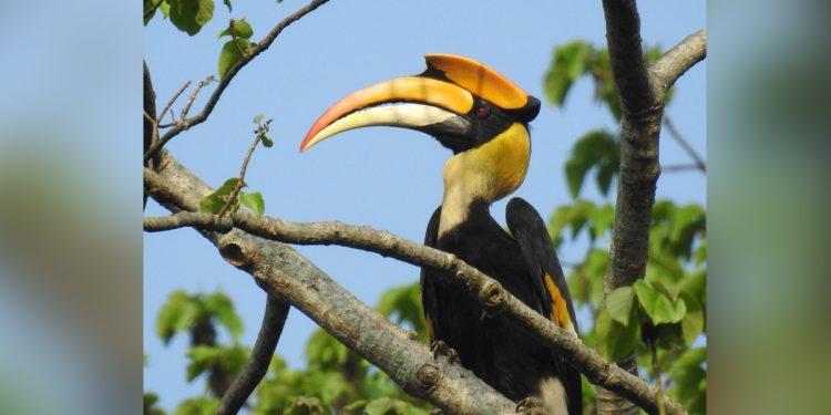 Hornbill in Pobitora