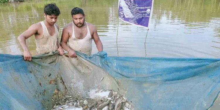 Rituraj (right) with support from one his assistant harvesting fishes from his pond. Image: Northeast Now