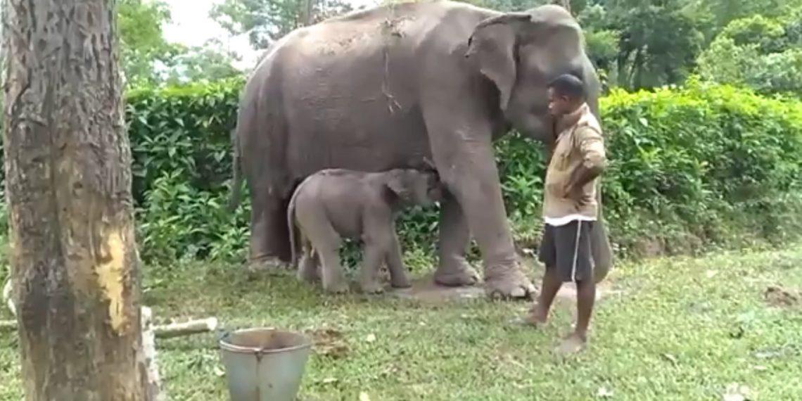 Male ♂ Asian elephant notnamed at Kaziranga unspecified elephant camp