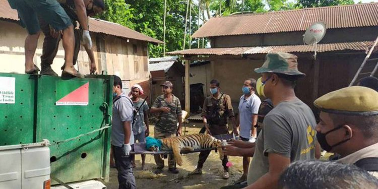 CWRC officials with the rescued tigress