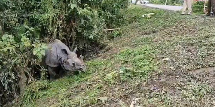 Assam: Highway rhino of Kaziranga National Park goes back home 1