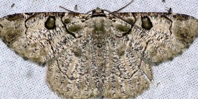 New moth species spotted in Arunachal Pradesh 1