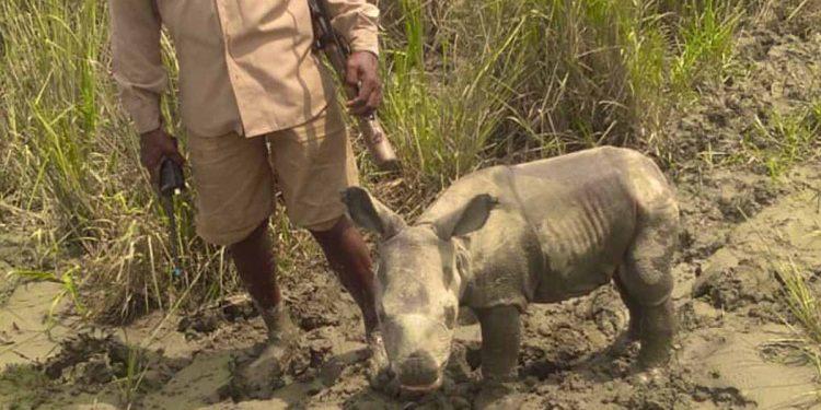 Kaziranga National Park officials rescue rhino calf 1