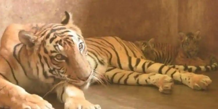 The two tiger cubs, Sultan and his unnamed sister, with their mother Kazi at the Assam state zoo in Guwahati