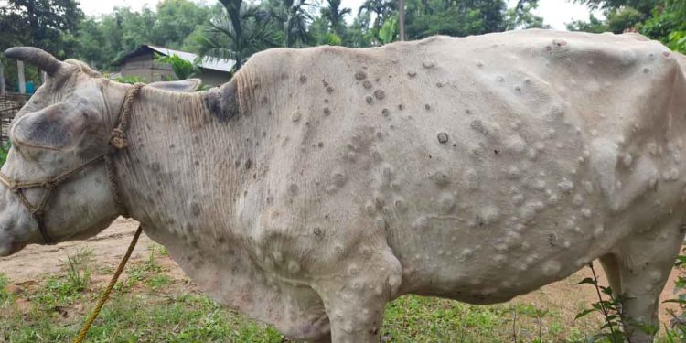 Lumpy skin disease hits cattle of Assam; government urged to raise awareness 1