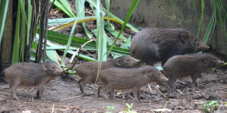 Conservation action saves Pygmy Hog: the smallest pig from extinction 1
