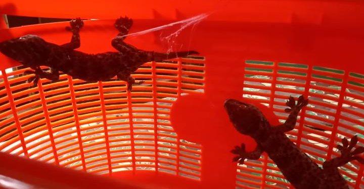 Assam: Two tokay geckos rescued from Bhutan border 1