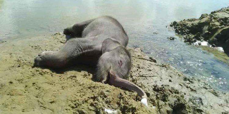 The carcass of a baby elephant