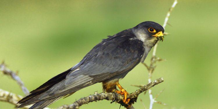 Manipur bans hunting of Amur falcons 1