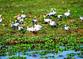 Barheaded Geese, Kaziranga National Park