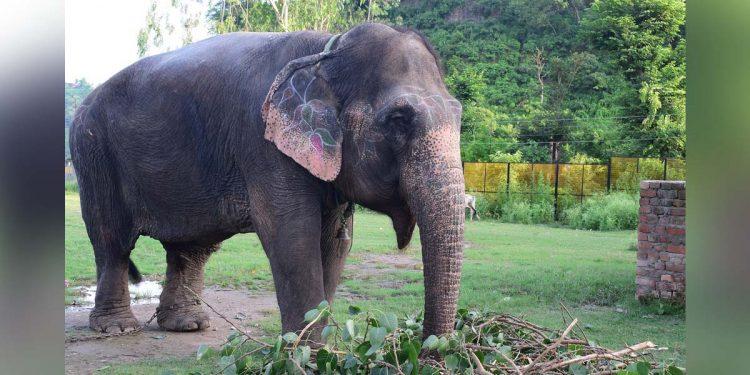 Domestic elephant