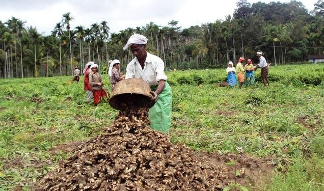 Meghalaya: Northeast's first-ever specialised ginger processing plant at Ri-Bhoi to be functional in 2021 1
