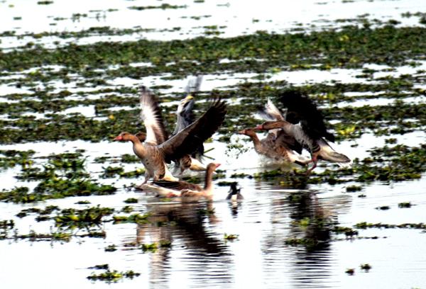 Migratory birds in Pobitora Wildlife Sanctuary