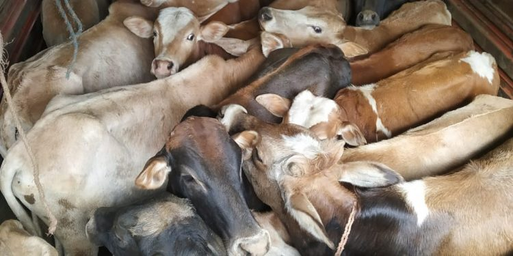 Rescued cattle.