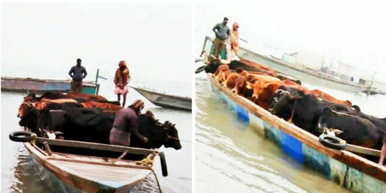 Assam's crusade against cattle smuggling: 51 cattle rescued in Dhubri, 4 in South Salmara 1