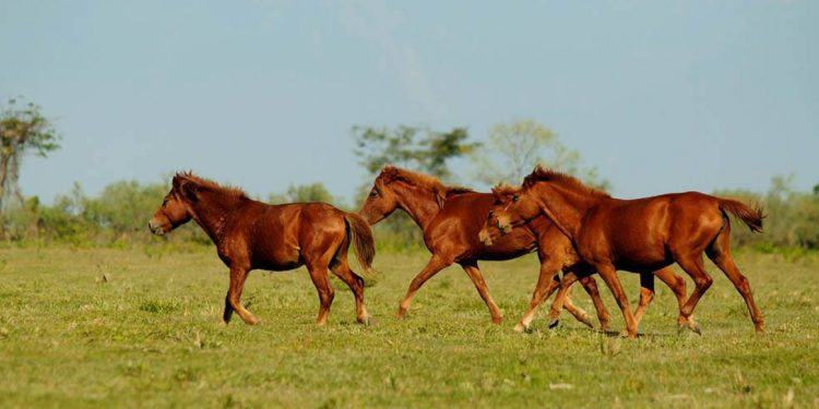 Dibru-Saikhowa National Park is home to a big population of feral horses.
