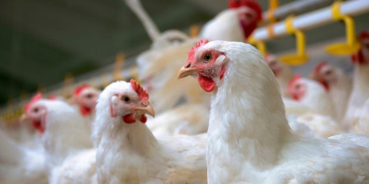 Assam: Authorities to revive defunct poultry farm in Jorhat to generate self employment 1