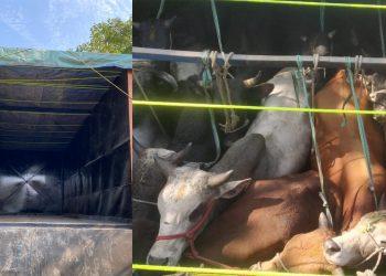 cattle heads