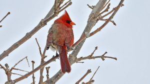 Extremely rare bird: 'Half male, half female' cardinal spotted in USA's Pennsylvania 1