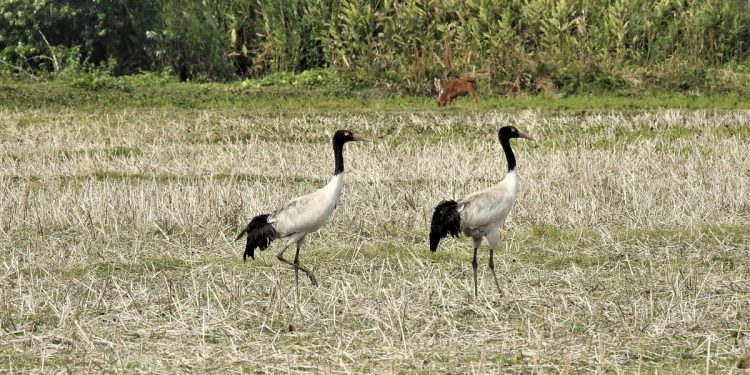 Black-necked Crane (Grus nigricollis) sighted near the First Addition to Manas National Park. Image credit -Sanatan Deka/WTI