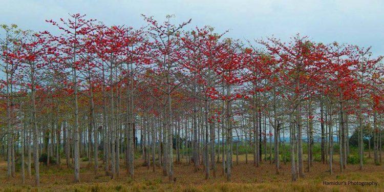 Simalu trees
