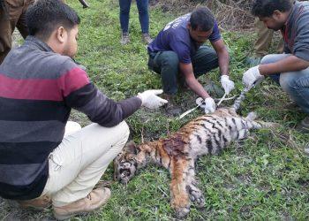 Dead tigress in Kaziranga