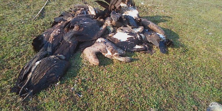 Assam: Twenty critically endangered vultures found dead in Tinsukia 1